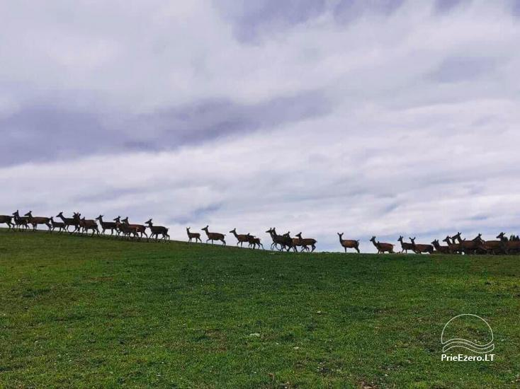 Złota jelenie jelenie z łaźnią i kempingiem w regionie Utena, Litwa - 16