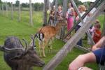 Deers - 2