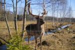 Deers - 4