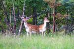 Deers - 9