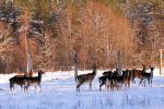 Deers - 11