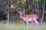 Deers - 12